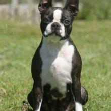 boston-terrier-395x460