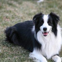 dog-collie-mammal-border-collie-vertebrate-dog-breed-139973-pxhere.com_