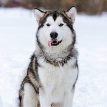 malamute-alaska