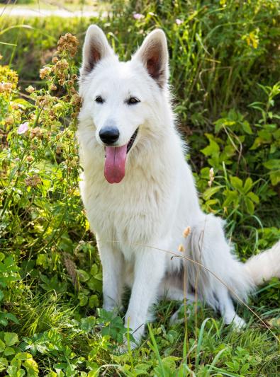 berger-blanc-suisse