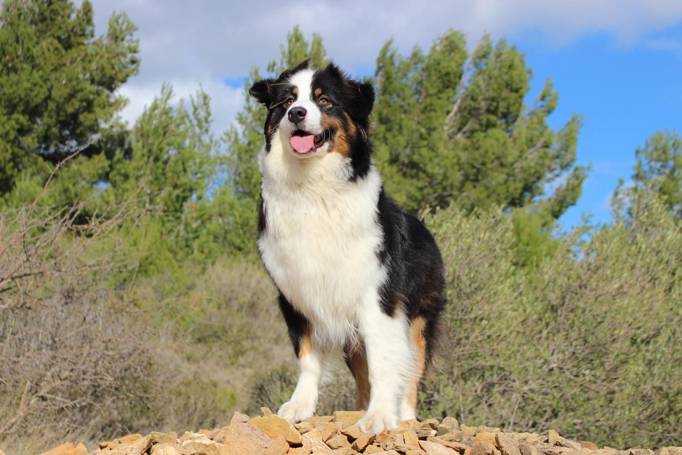 dog-mammal-border-collie-vertebrate-dog-breed-australian-shepherd-38409-pxhere.com_